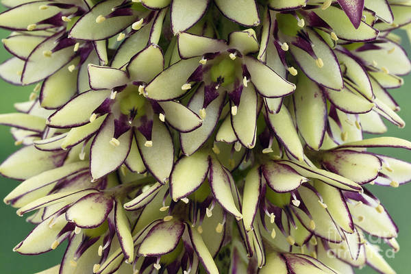 Pineapple Lily Photograph - Eucomis Bicolor by Geoff Kidd