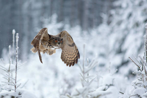 Flying Eagle Photograph - Eurasian Eagle-owl by Milan Zygmunt