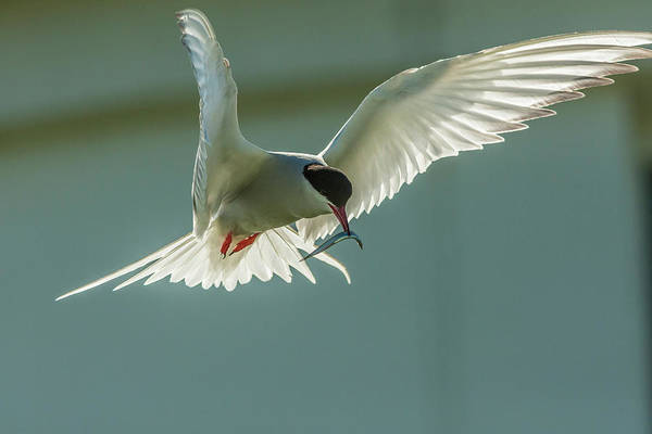Tern Wall Art - Photograph - Europe, England, Farne Islands by Jaynes Gallery