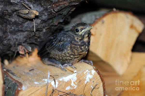 Reiner Photograph - European Blackbird Chick by Reiner Bernhardt
