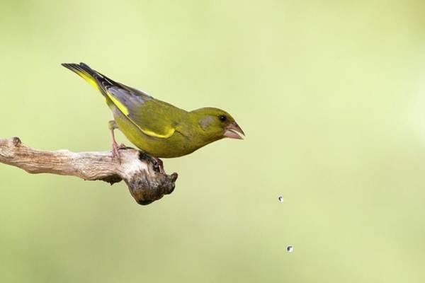 Alert Photograph - European Greenfinch Carduelis Chloris by Photostock-israel