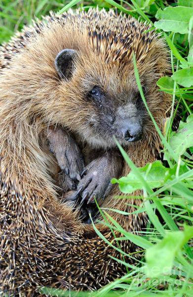 Reiner Photograph - European Hedgehog by Reiner Bernhardt