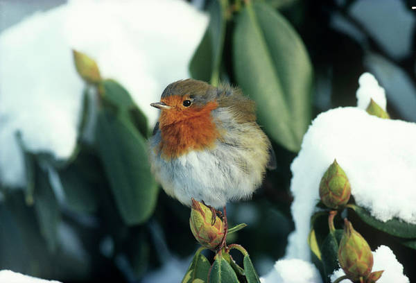European Robin Photograph - European Robin by Anthony Cooper/science Photo Library