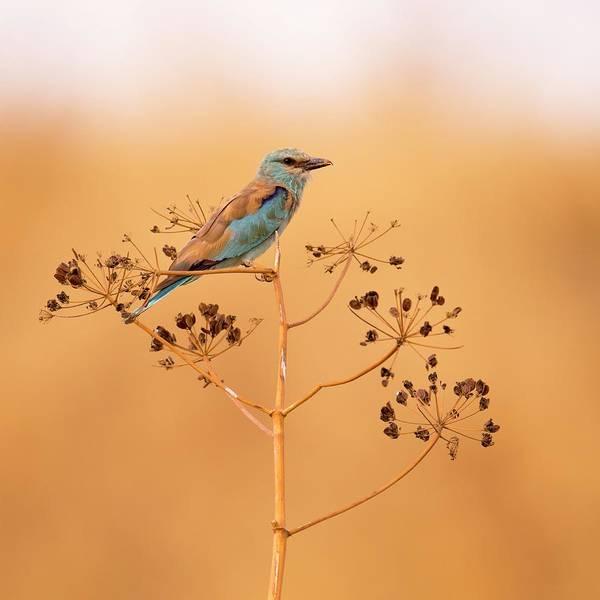 Wall Art - Photograph - European Roller (coracias Garrulus) by Photostock-israel/science Photo Library