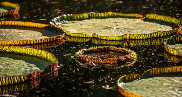 Victoria Amazonica Wall Art - Photograph - Evening Light On The Leaves Of Victoria Regia. Royal Botanical Garden  In Mauritius by Jenny Rainbow