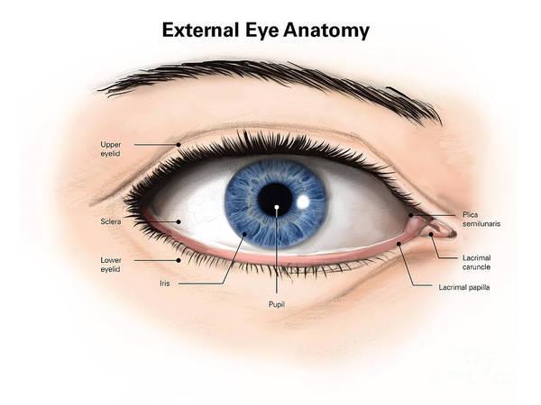 Eyeball Digital Art - External Anatomy Of The Human Eye by Alan Gesek
