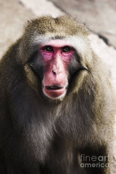 Photograph - Face Of A Japanese Macaques Monkey by Jorgo Photography - Wall Art Gallery