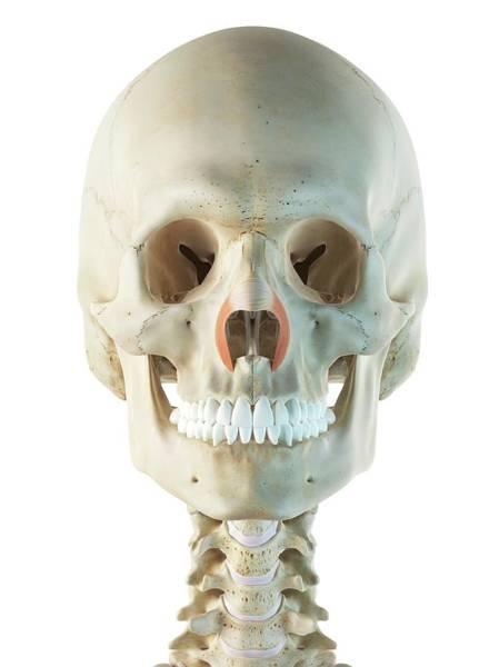 Nasalis Photograph - Facial Muscles by Sciepro