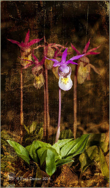 Photograph - Fairy Slippers by Fred Denner
