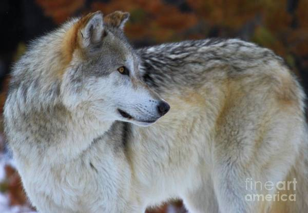 Alpha Wolf Wall Art - Photograph - Fall Colors by Adam Jewell