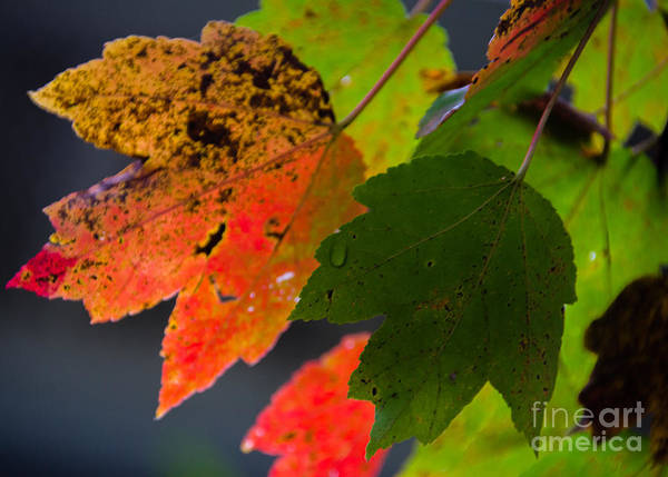 Photograph - Fall Leaf by Dale Powell