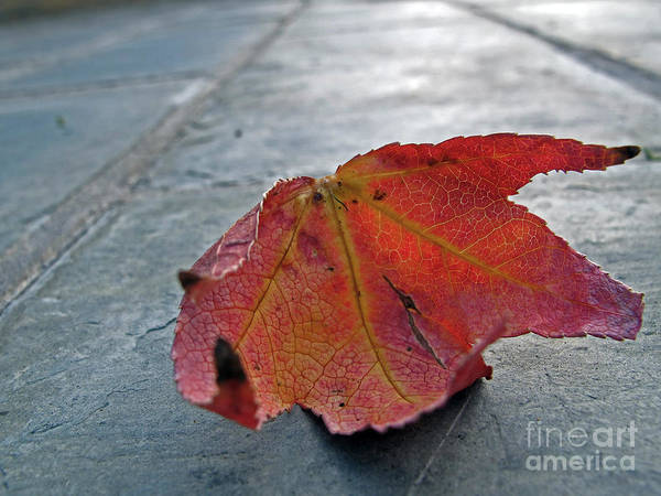 Photograph - Fall Leaf by Kelly Holm