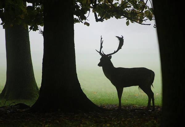 Ruminant Photograph - Fallow Deer Buck by Nigel Downer