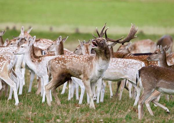 Dama Dama Photograph - Fallow Deer by John Devries/science Photo Library