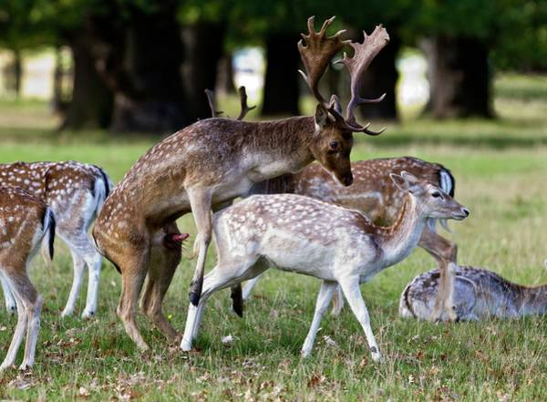 Dama Dama Photograph - Fallow Deer Mating by John Devries/science Photo Library