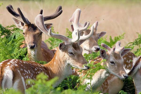 Dama Dama Photograph - Fallow Deer Stags by Gustoimages/science Photo Library