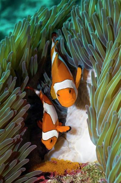 Clownfish Photograph - False Clownfish Spawning by Georgette Douwma