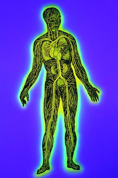 Circulation Wall Art - Photograph - False-colour Artwork Of Human Blood Circulation by Mehau Kulyk/science Photo Library