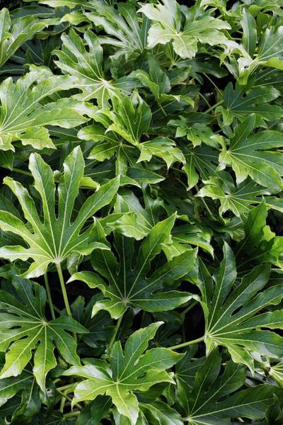 Japonica Photograph - Fatsia Japonica by Geoff Kidd/science Photo Library