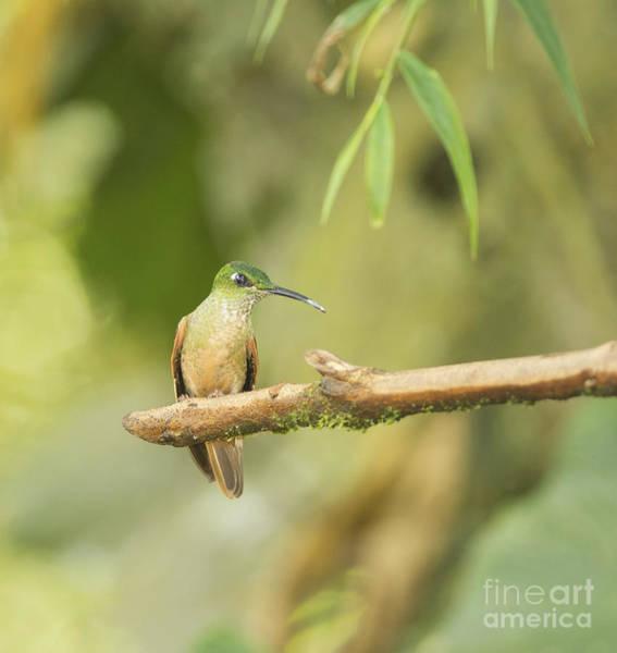 Photograph - Fawn-breasted Brilliant Hummingbird by Dan Suzio