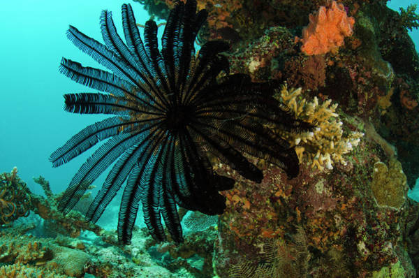 Feather Star (comasteridae Art Print by Pete Oxford