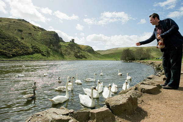 Holyrood Photograph - Feeding Swans by Gustoimages/science Photo Library