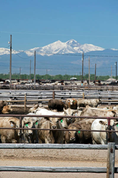 Feedlot Photograph - Feedlot Cattle by Jim West