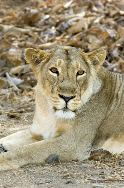 Persica Wall Art - Photograph - Female Asiatic Lion by Tony Camacho/science Photo Library