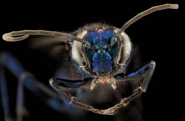 Wasp Photograph - Female Blue Mud Dauber Wasp by Us Geological Survey