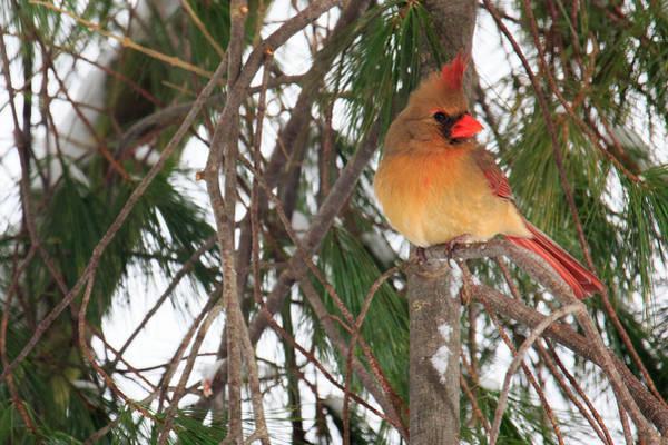 Female Cardinal Photograph - Female Cardinal by Everet Regal