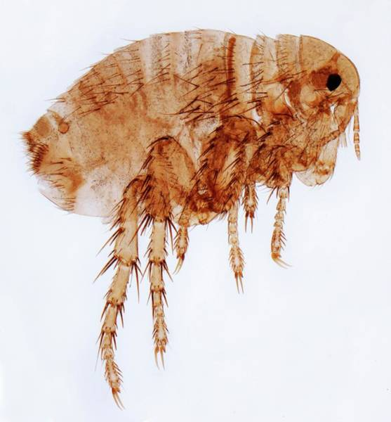 Wall Art - Photograph - Female Flea by Steve Gschmeissner/science Photo Library