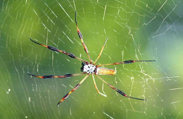 Golden Orb Spider Photograph - Female Golden Silk Spider by Millard H. Sharp