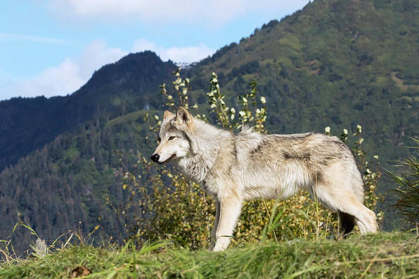 Wall Art - Photograph - Female Gray Wolf  Canis Lupus by Doug Lindstrand