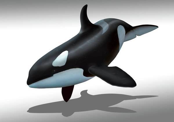 Killer Whales Wall Art - Photograph - Female Killer Whale by Mark Garlick