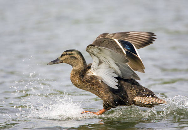 Anas Platyrhynchos Photograph - Female Mallard Duck by John Devries/science Photo Library