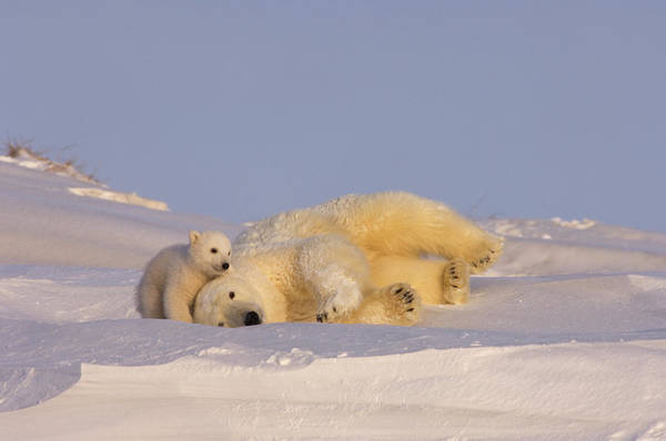 Sow Photograph - Female Polar Bear Cleans Her Coat by Steven J. Kazlowski / GHG