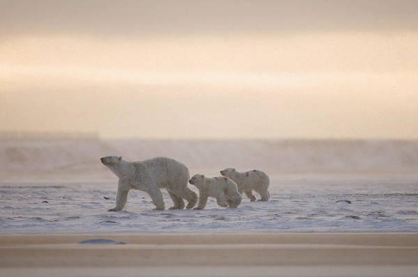 Bear Photograph - Female Polar Bear With A Pair Of Cubs by Steven Kazlowski