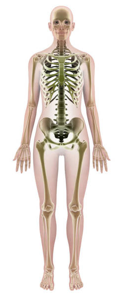Bone Structure Wall Art - Photograph - Female Skeleton by Medi-mation/science Photo Library