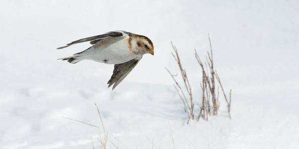 Cairngorms Photograph - Female Snow Bunting by Duncan Shaw