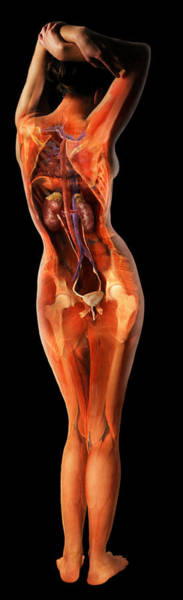 Wall Art - Photograph - Female Urinary System by Anatomical Travelogue