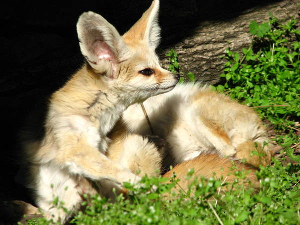 Photograph - Fennec Foxes by Cleaster Cotton