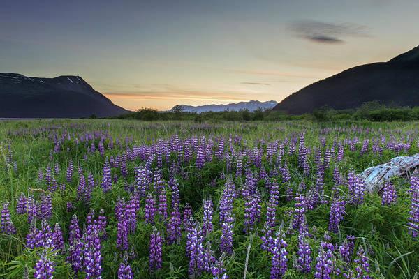 Field Of Arctic Lupine Art Print
