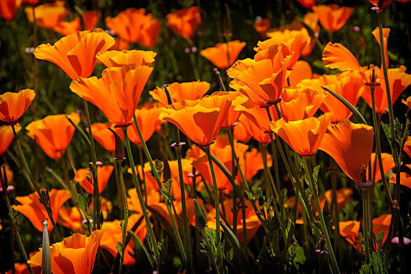 Wall Art - Photograph - Field Of Poppies by Garry Gay