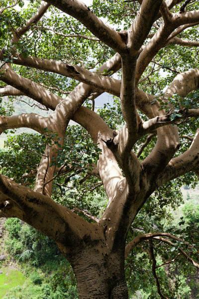 Wall Art - Photograph - Fig Tree Near The Escarpment by Martin Zwick