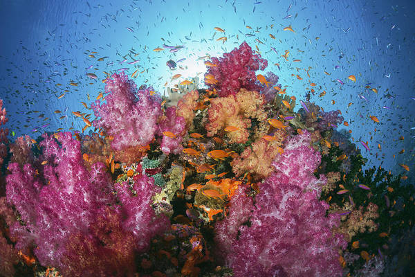 Wall Art - Photograph - Fiji, Alconarian And Gorgonian Coral With Schooling Anthias. by Dave Fleetham