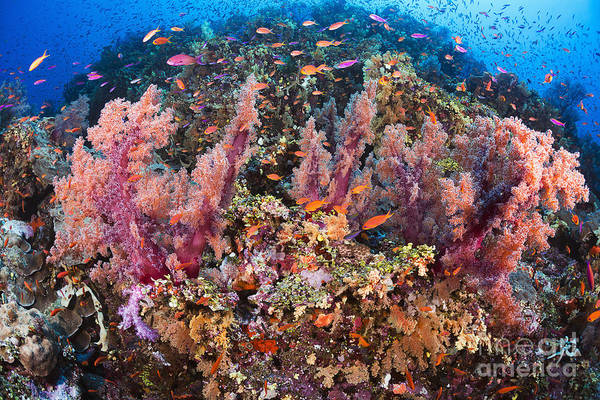 Wall Art - Photograph - Fiji, Alconarian Coral With Schooling Anthias. by Dave Fleetham