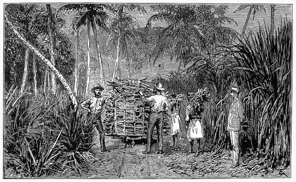Wall Art - Painting - Fiji Sugar Field, 1885 by Granger