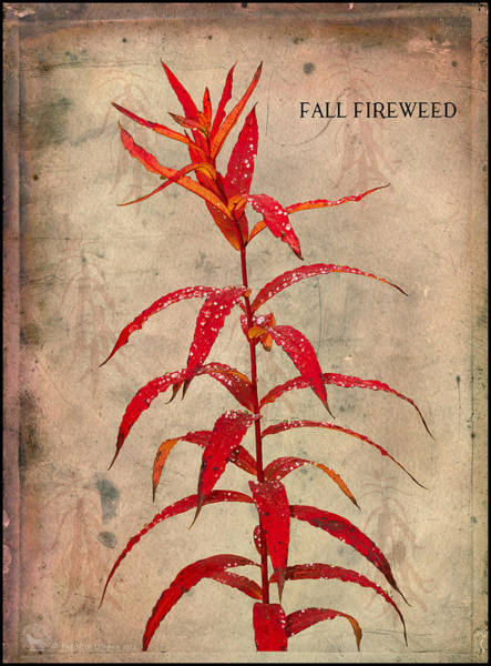 Photograph - Fireweed by Fred Denner