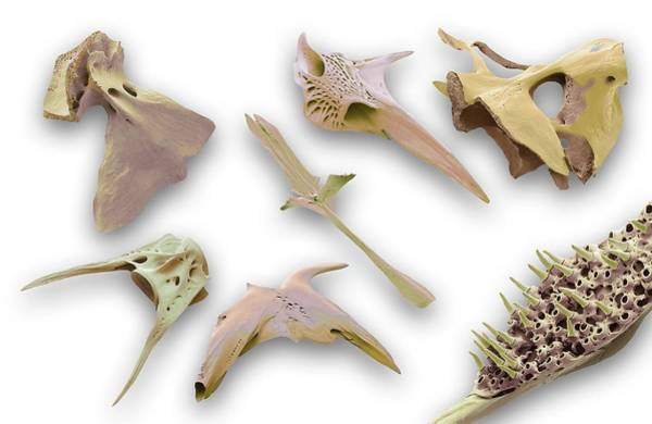 Alcedo Photograph - Fish Bones by Steve Gschmeissner/science Photo Library