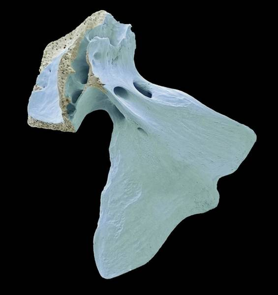Alcedo Photograph - Fish Skull Bone by Steve Gschmeissner/science Photo Library
